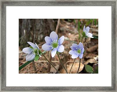 Spring's First Framed Print by Bill Pevlor