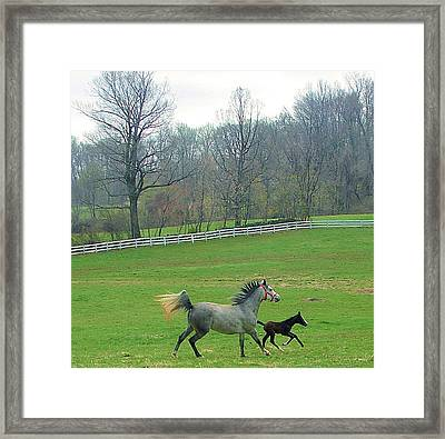 Springs First Prance Framed Print by Heather  Boyd