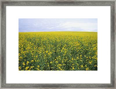 Springtime, Field Of Mustard Seed Framed Print by Rich Reid