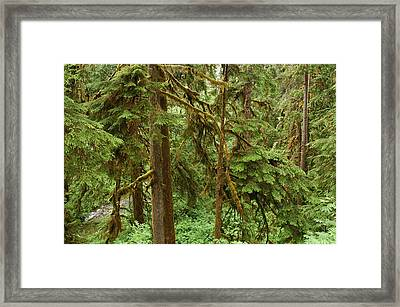 Spruce Trees With Moss Framed Print by Darlyne A. Murawski