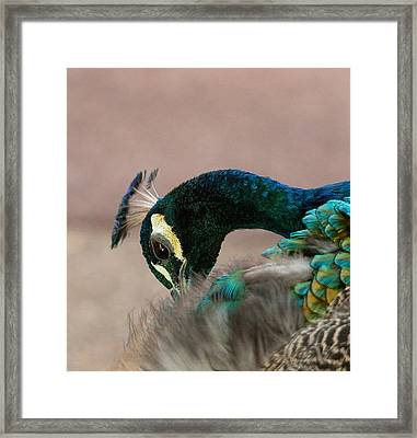 Sprucing Up Framed Print by Heather Thorning