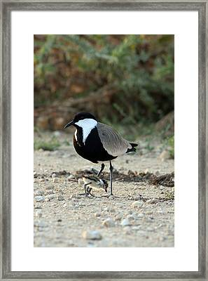 Spur-winged Plover And Chick Framed Print