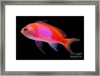 Square Pink Anthias Framed Print