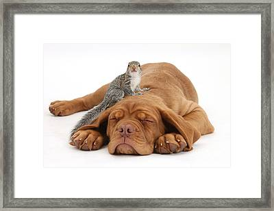 Squirrel And Puppy Framed Print by Mark Taylor