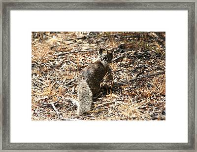 Squirrel Ascent Framed Print by Diana Poe