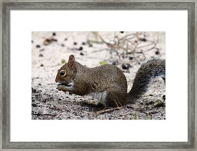 Framed Print featuring the photograph Squirrel Eating Nuts by Jeanne Andrews