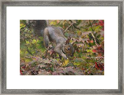 Squirrel In Fall Framed Print by Valia Bradshaw