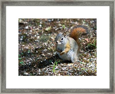 Framed Print featuring the photograph Squirrel by Josef Pittner