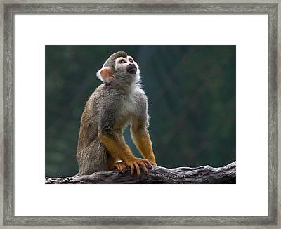Squirrel Monkey Framed Print by Cindy Haggerty