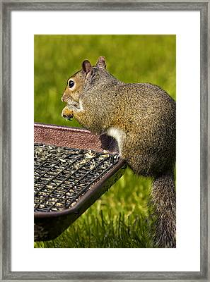 Squirrel On Seed Tray Framed Print by Bill Tiepelman