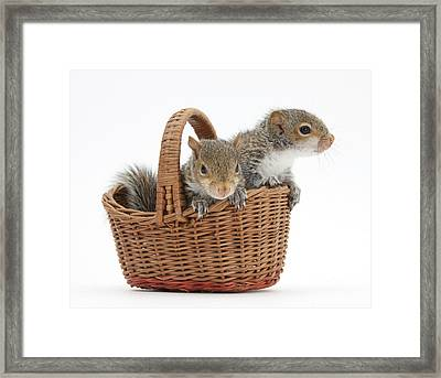 Squirrels In A Basket Framed Print by Mark Taylor