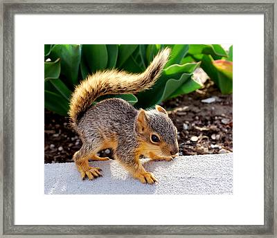Squirrely Framed Print by Robert Gallup