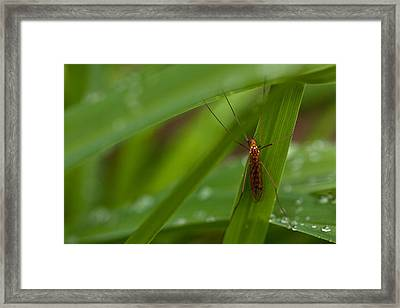 Squito Has Landed Framed Print by Karol Livote