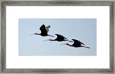 Framed Print featuring the photograph Stacked Ibis by Mitch Shindelbower