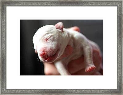 Staford Shire Bull Terrier Puppy Framed Print by Jane Hunter Images