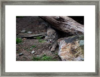 Stalking Framed Print by John Dryzga