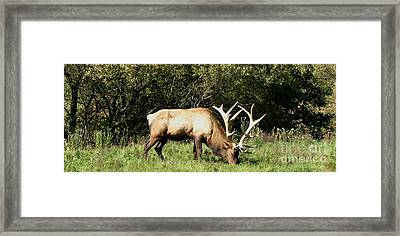 Stand Alone Elk Framed Print by The Kepharts