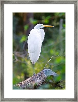 Standing Egret Framed Print by Scott Hansen