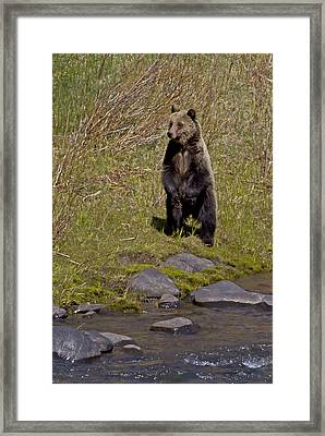 Framed Print featuring the photograph Standing Grizzly by J L Woody Wooden