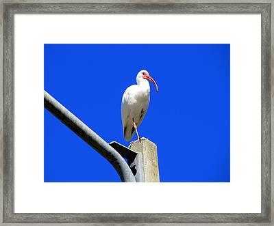 Standing Ibis Framed Print