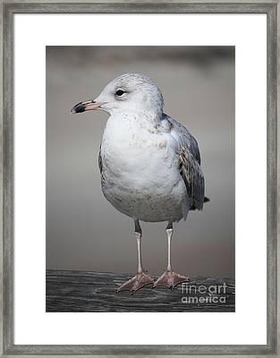 Standing Seagull Framed Print by Carol Groenen