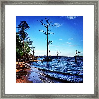 Standing Tall Goose Creek State Park Framed Print by Joan Meyland