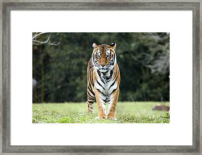 Standing Tiger Looking Into The Camera Framed Print