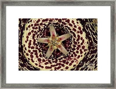 Stapelia Flower Framed Print