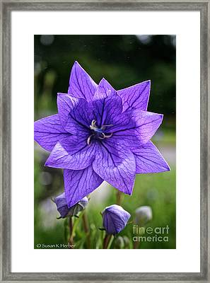 Star Balloon Flower Framed Print by Susan Herber