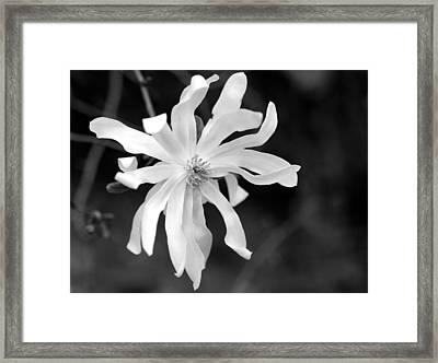 Star Magnolia Framed Print