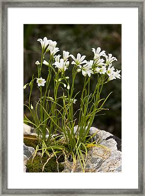Star-of-bethlehem (gagea Graeca) Framed Print by Bob Gibbons