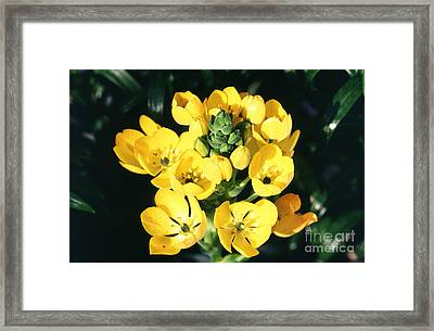 Star Of Bethlehem Framed Print by Science Source