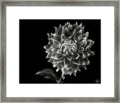 Starburst Dahlia In Black And White Framed Print by Endre Balogh