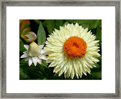 Starburst Framed Print by Karen Harrison