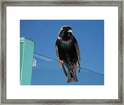 Framed Print featuring the photograph Starling At Santa Monica Pier by Peter Mooyman