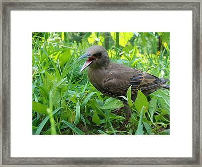 Starling Talks Framed Print by Katie Bauer