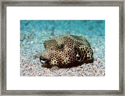Starry Pufferfish Framed Print by Georgette Douwma