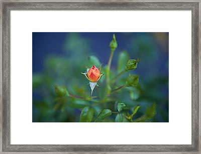 Starting To Bloom Framed Print