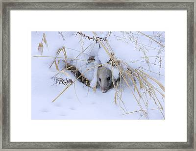 Staying Warm Framed Print by Ron Jones