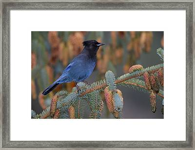Stellar Jay, Haines, Alaska Framed Print