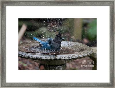 Stellar Jay In The Birdbath Framed Print by Carol Ailles