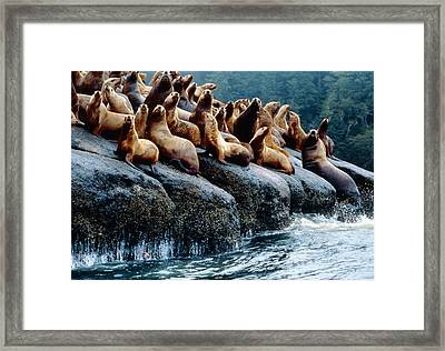 Stellar Sea Lions Framed Print by David Nunuk