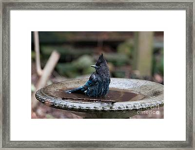 Steller Jay In The Birdbath Framed Print by Carol Ailles