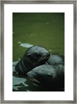 Steller Sea Lion Pups Eumetopias Framed Print by Joel Sartore