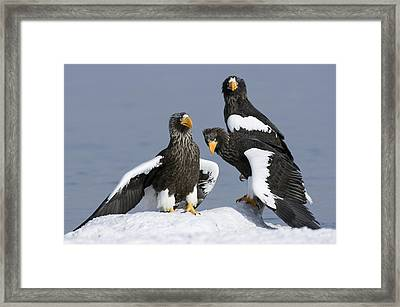 Stellers Sea Eagle Trio Framed Print by Sergey Gorshkov