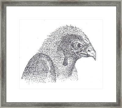 Sterling's Falcon Framed Print by Charles Kabrich