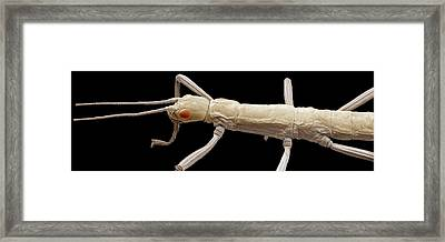 Stick Insect, Sem Framed Print by Steve Gschmeissner