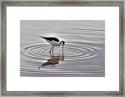 Framed Print featuring the photograph Black-necked Stilt by Tam Ryan
