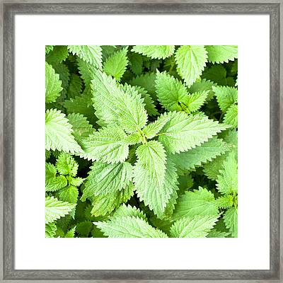 Stinging Nettles Framed Print