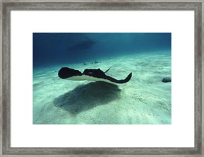 Stingray, Cayman Islands, West Indies Framed Print by Joe Stancampiano